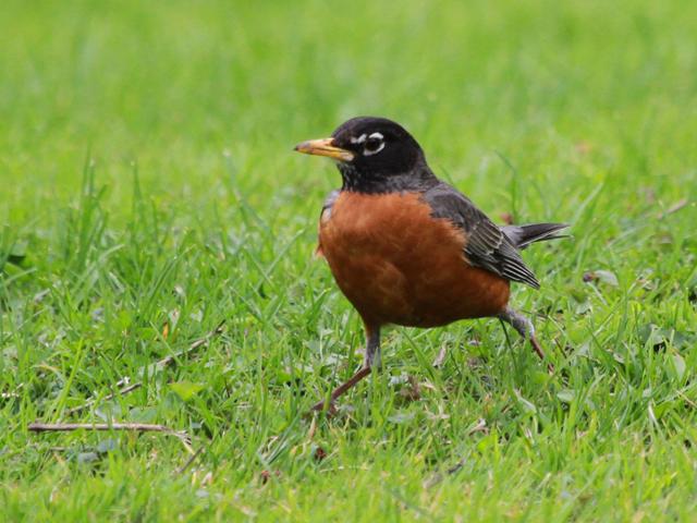 Robin walking in grass