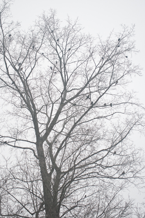 Robins fill a tree in this winter photo.