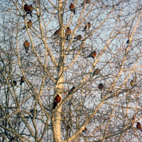 Flock of winter robins in a tree