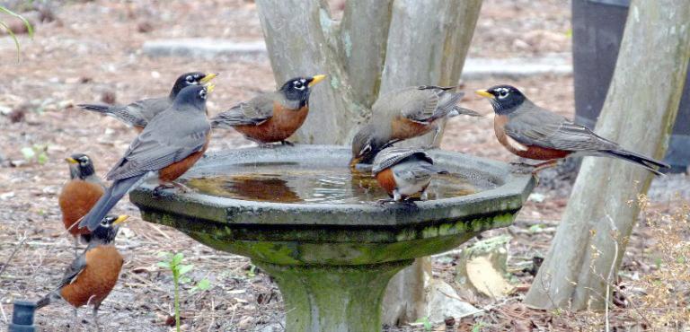 Thirsty robins at a bird bath