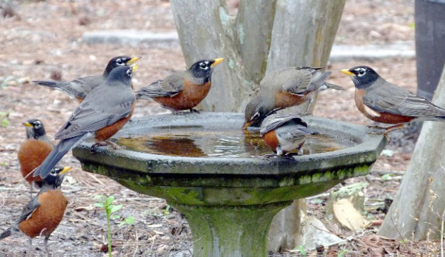 Winter robins flock to water
