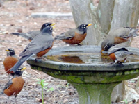 Thirsty robins wait for a turn to drink from a birdbath.