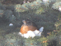 Robin taking shelter in evergreen tree
