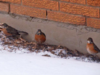 Winter robins