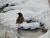 Robin standing in snow by water