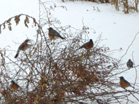 social robins in winter
