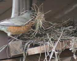 Robin brings grass to nest site