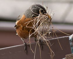 Robin brings more grasses to nest