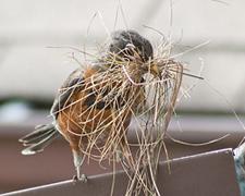robin nest building