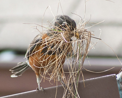 Robin carrying dead grasses for building her nest
