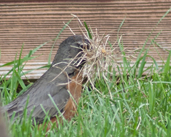 Robin gathers grass for nest