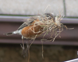 Robin in fight with beakful of grass