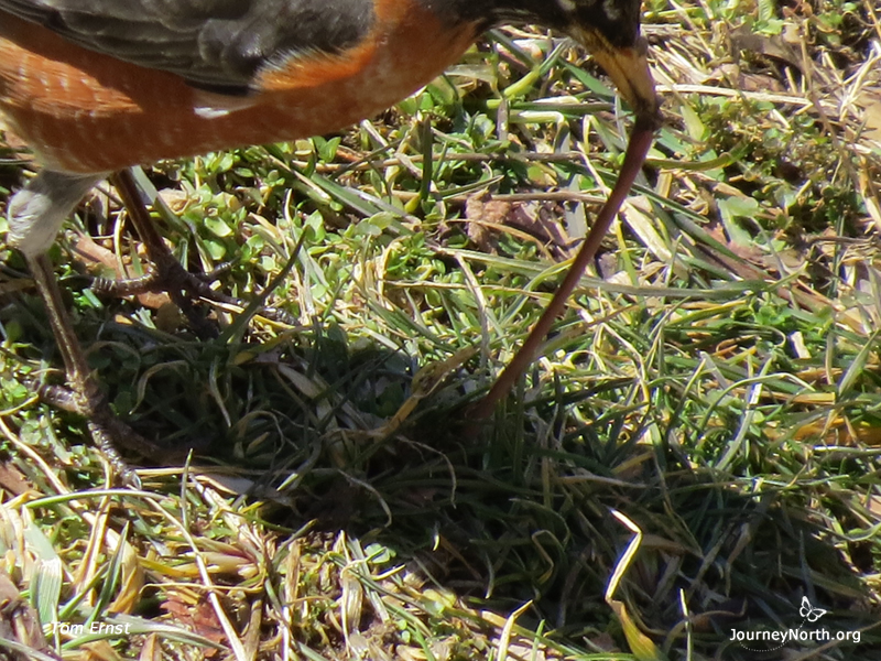 Robin: Tugging Out Worms