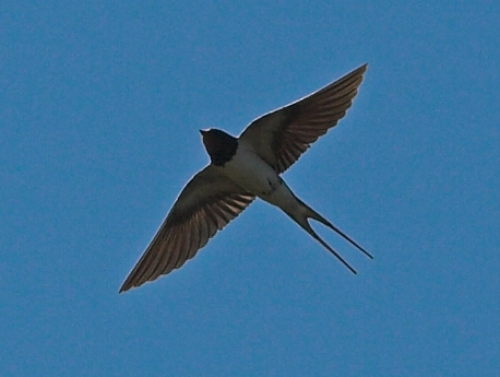Barn Swallow in flight courtesy of Wikipedia