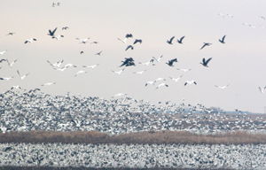 Snow Geese on Nebraska's Platte River during migration.