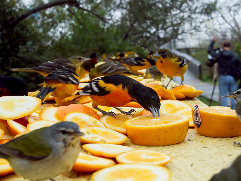 A fallout of Baltimore Orioles in Texas