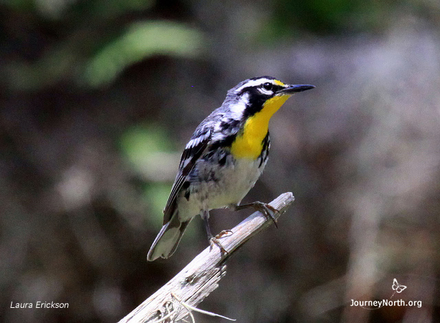Yellow -throated warbler