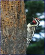 Yellow-bellied Sapsucker photo by Ann Cook