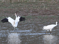 Migrating female #519 and nonmigratory male Whooping crane