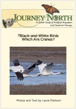 Whooping Crane Identification