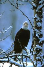 Journey North Bald Eagle: Spring, 2000