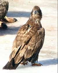 eagle_fledgling04