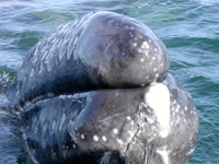 Baby gray whale's face