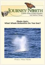 Photo Quiz: What gray whales do you see?