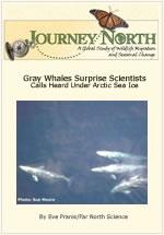 Gray Whale Surprise Scientists