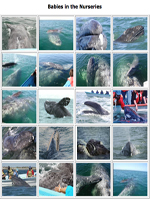 Photo gallery of gray whale babies in the nursery lagoons