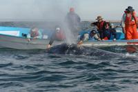 Tourists touch a whale in Laguna San Ignacio, Mexico.
