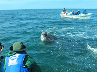 Tourists watch baby gray whale in San Ignacio Lagoon.