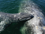 Newborn gray whale and its mother.