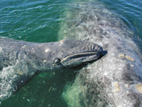 Newborn gray whale baby and mother