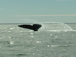"Tail of young gray whale sticks out of the water as it dives and learns to ""plow"" food from the bottom."