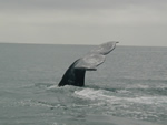Gray whale showing its flukes as it takes a long, deep dive.