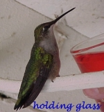 Val McClellan holds this starving Ruby-throated Hummingbird just after it fed