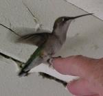 Hummingbird rescue!