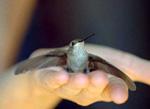 Hummingbird Feeding at Flower