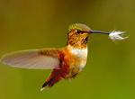 Hummingbird Migration in Texas