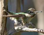 building a hummingbird nest