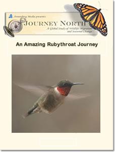 An Amazing Rubythroat Journey