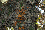 No food for monarch butterflies in Mexico