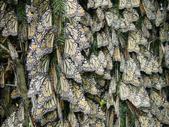 Winter Colony: Monarch Butterflies in Mexico
