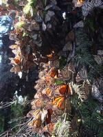 Monarch Butterfly winter sanctuary in Mexico