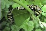 CaterpillarFeast014