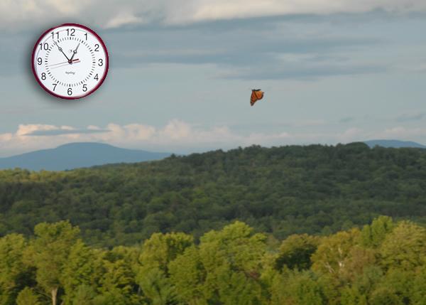 Fall monarch flying in directional flight.