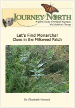 How to find Monarch Butterfly caterpillars on milkweed