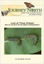 Monarch Butterfly Caterpillars Larvae
