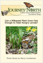 How quickly milkweed and Monarch Butterfly grow